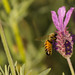 Honey Bees on Lavender-5-2.jpg