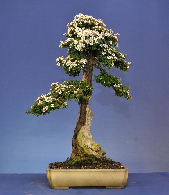 Flowering Cotoneaster Bonsai Eejit