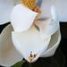 Queen Magnolia by fmohsin