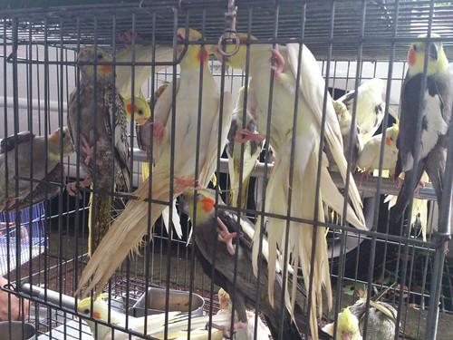 萬華鳥街鸚鵡被大雨淋濕