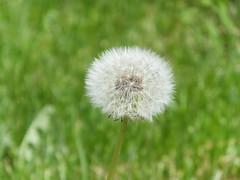 Dandelion in green
