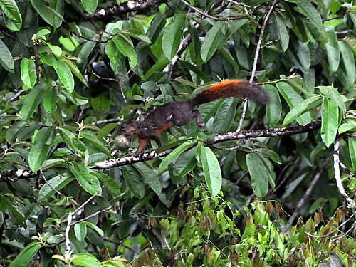 redtailed squirrel nut
