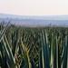 Agave Field por bbum