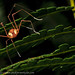 Harvestman by Andrew Snyder Photography