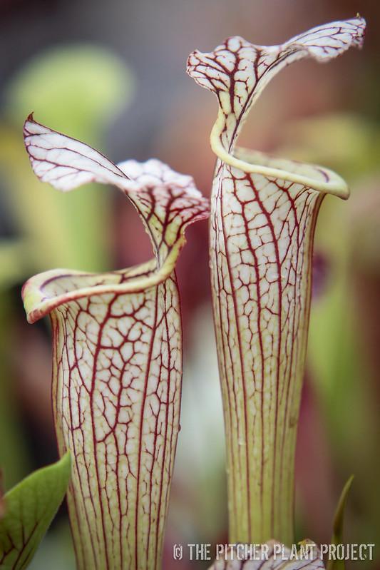 """Sarracenia flava """"Widemouth"""" x leucophylla - """"Juju Lips"""""""