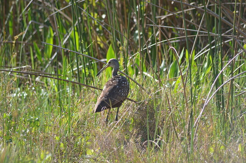 Limpkin ( Aramus guarauna ) Spotted at Orlando Wetlands by Sheri Fresonke Harper