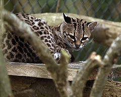 animal, zoo, small to medium-sized cats, mammal, fauna, close-up, wild cat, ocelot, whiskers,