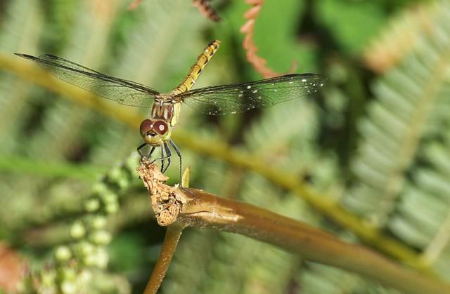 DSC_6916 dragonfly