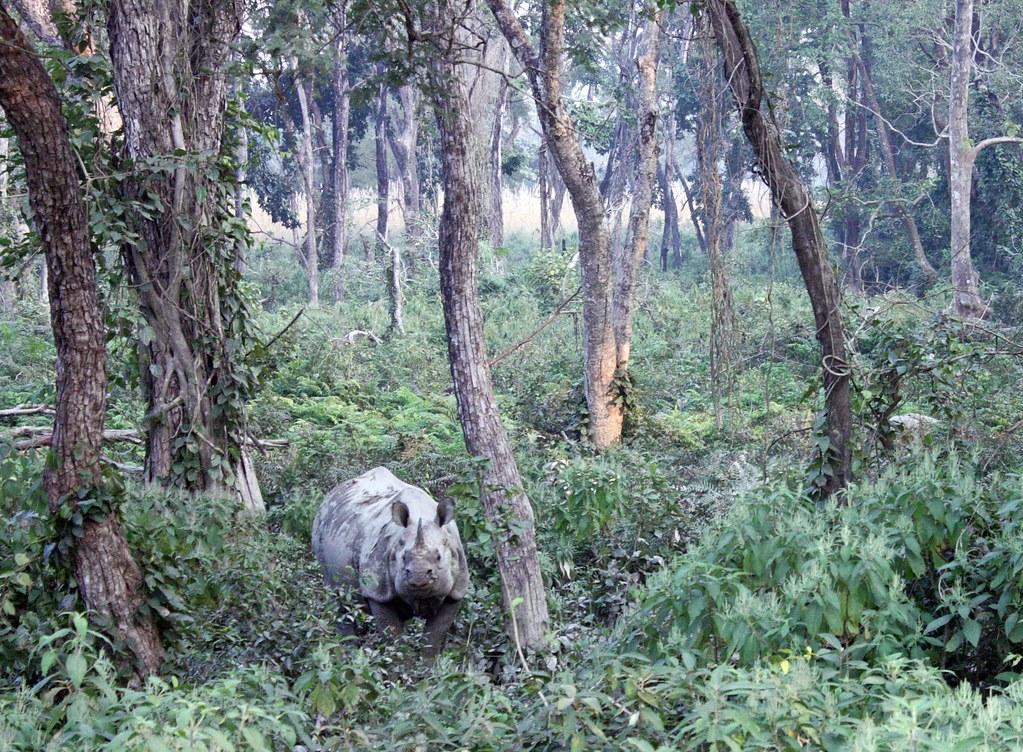 Endangered rhino, Nepal