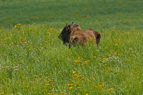 Five bison heifers graze on The Wilds' demonstration site.