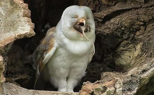 英国猫头鹰吞食老鼠露笑容