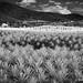 Oaxacan Agave Fields by Watsons Wanderings