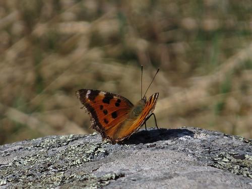 Многоцветница чёрно-рыжая, или многоцветница восточная — дневная бабочка из семейства Nymphalidae. Видовой эпитет означает «жёлто-чёрный», «рыже-чёрный». Википедия  Photo by Kari Pihlaviita on Flickr Автор фото: Kari Pihlaviita