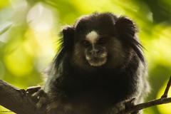 macaque(0.0), ape(0.0), animal(1.0), monkey(1.0), mammal(1.0), fauna(1.0), marmoset(1.0), close-up(1.0), new world monkey(1.0), wildlife(1.0),