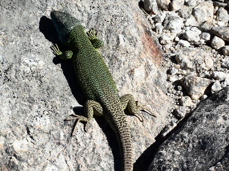 Peñalara. Alpino. Artrópodos, anfibios y reptiles 17740478032_b37d89056c_c