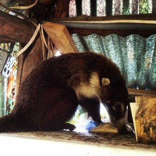 Resident coati on top of the fridge getting its suger fix, Hostel Bambu, David