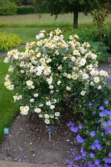 rosa wichuraiana, annual plant, shrub, garden roses, flower, garden, rosa multiflora, rosa pimpinellifolia,