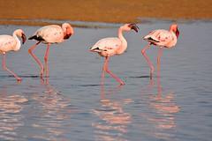 DSC_5327 Flamingo 15 Namibia 2016.