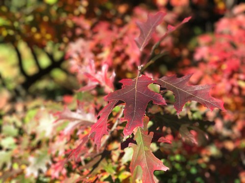 Otoño …! #otoño #autumn #autumnleaves #outono #hoja #folha #leaf #portugal #oliveiradobairro