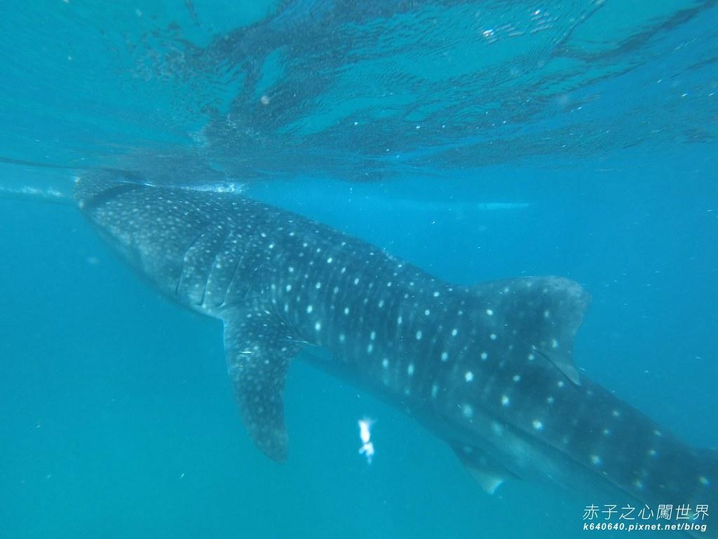 宿霧鯨鯊游泳-Oslob Whale Shark-013