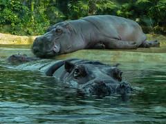 Lazy hippopotamuses in Berlin Zoo