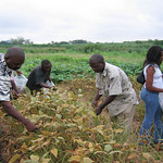 Researchers harvesting infected soybean leaves for inoculation