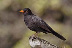 Mirlo común - Blackbird - Turdus merula