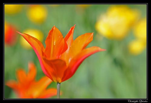 Tulipe au Lensbaby