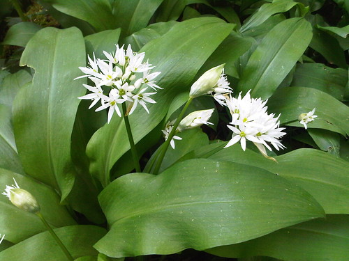 wild garlic May 12