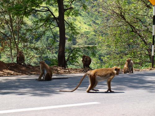 прогулка-обезьяны