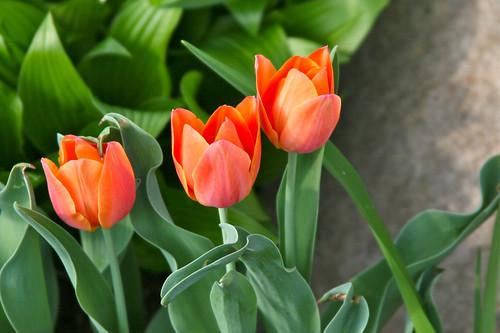 spring blossoms xi