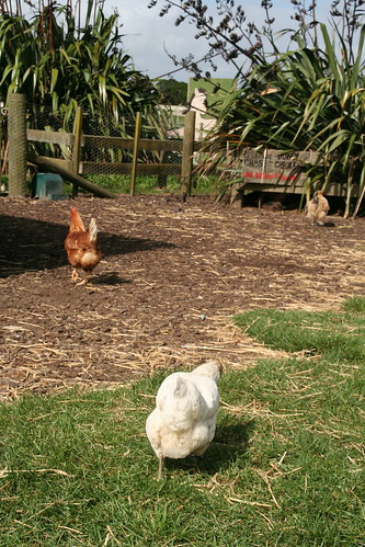 New Zealand chickens