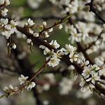 21 avril - 112/366 - fleurs de pommetier