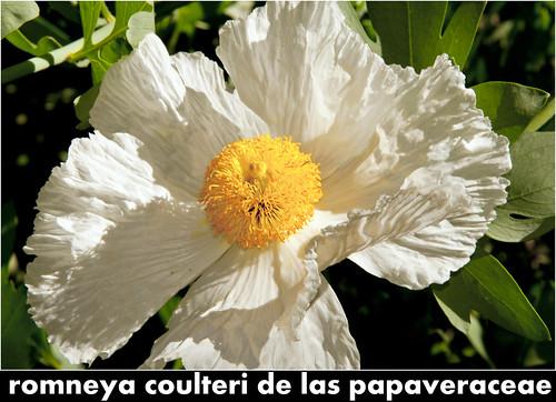romneya coulteri de las papaveraceae