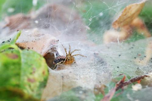 Emerging Spider