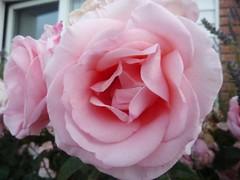 Rosa singela, rosa, bela rosa