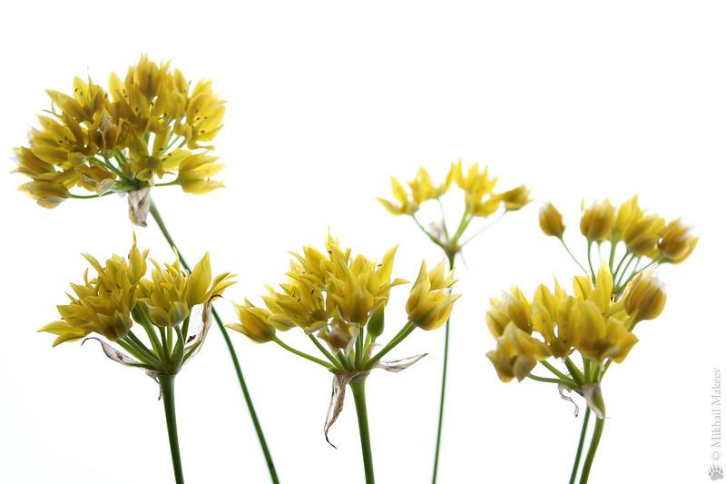 Allium moly (Golden Garlic, Lily Leek) — Лук Моли