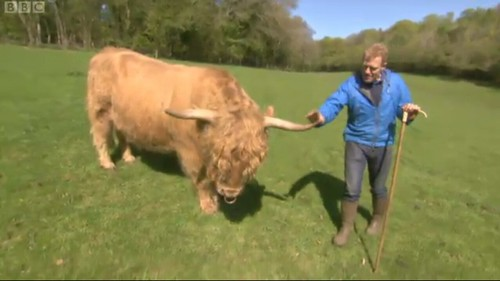 Highland Cow on Countryfile