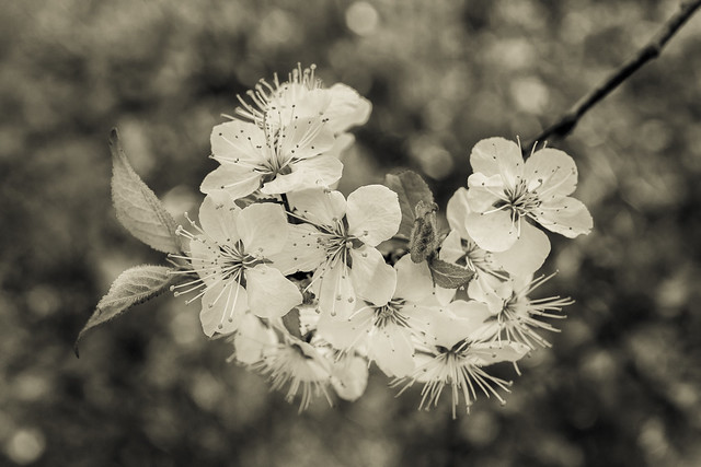 Flowers, Bloom, Spring, Branch, Tree, Apple Blossoms, Monochrome, B&W