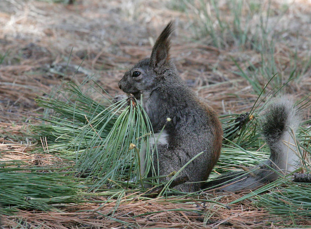 Abert U2019s Squirrel