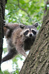 raccoon in the trees in Morningside Park