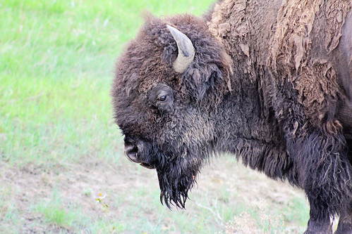 May 23, 2013. Bison in the rain
