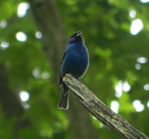 65e0a3be60ef17 Donald the birder's blog: A red, white and blue day...