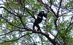 Howler Monkey looks down