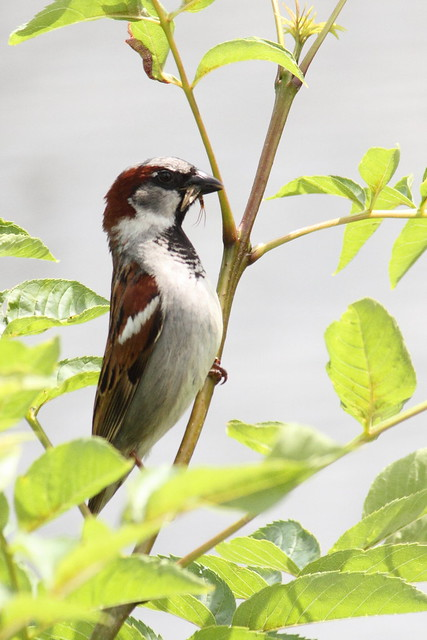 Male Sparrow with Mayfly