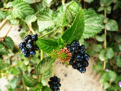 blackberry(0.0), shrub(0.0), red mulberry(0.0), plant(0.0), wine raspberry(0.0), huckleberry(0.0), produce(0.0), loganberry(0.0), food(0.0), currant(0.0), bilberry(0.0), zante currant(0.0), boysenberry(0.0), dewberry(0.0), berry(1.0), flower(1.0), chokeberry(1.0), fruit(1.0), mulberry(1.0),