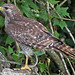 Red-shouldered Hawk, outside Everglades (Florida), 18-Apr-13 by Dave Appleton