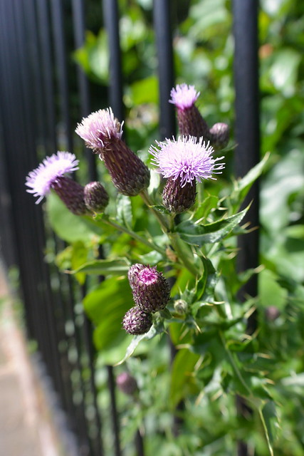 Summer flowers: escaping thistles
