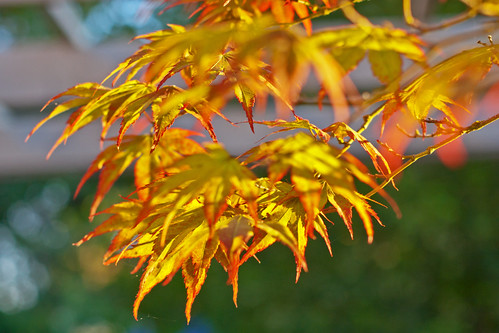 color leaves oregon sunrise maple walnuthill japanizesmaple