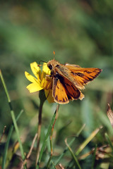 prairie(0.0), nectar(0.0), colias(0.0), monarch butterfly(0.0), arthropod(1.0), pollinator(1.0), animal(1.0), moths and butterflies(1.0), butterfly(1.0), flower(1.0), leaf(1.0), yellow(1.0), nature(1.0), invertebrate(1.0), macro photography(1.0), lycaenid(1.0), wildflower(1.0), flora(1.0), fauna(1.0), close-up(1.0), meadow(1.0), wildlife(1.0),